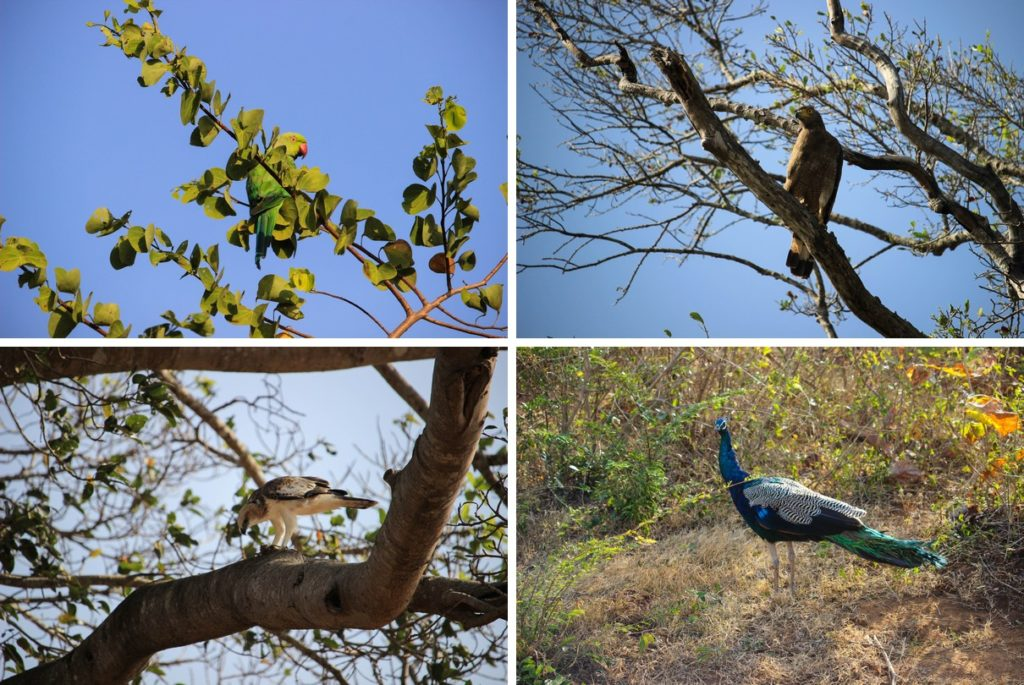 Halsbandparkiet, roofvogels en pauwen in Udawalawe National Park
