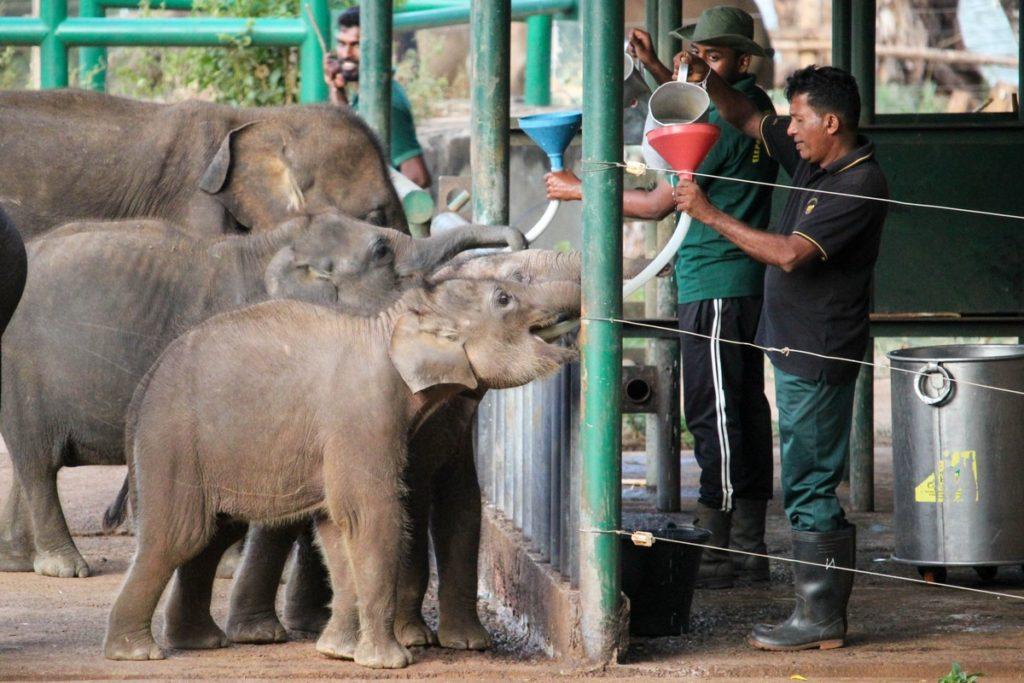 Voertijd bij het Elephant Transit Home, Udawalawe