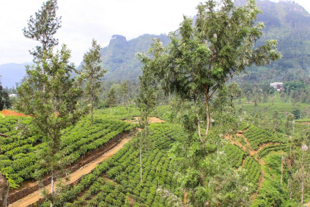Theeplantage in Sri Lanka