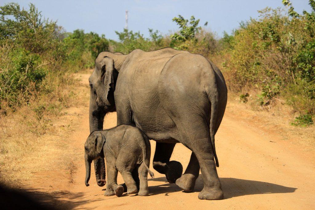 Moeder en baby olifant bij Udawalawe National Park