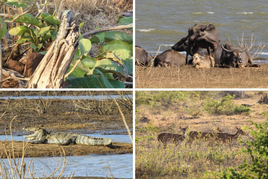 Hagedissen, waterbuffels, krokodillen en herten in Udawalawe National Park