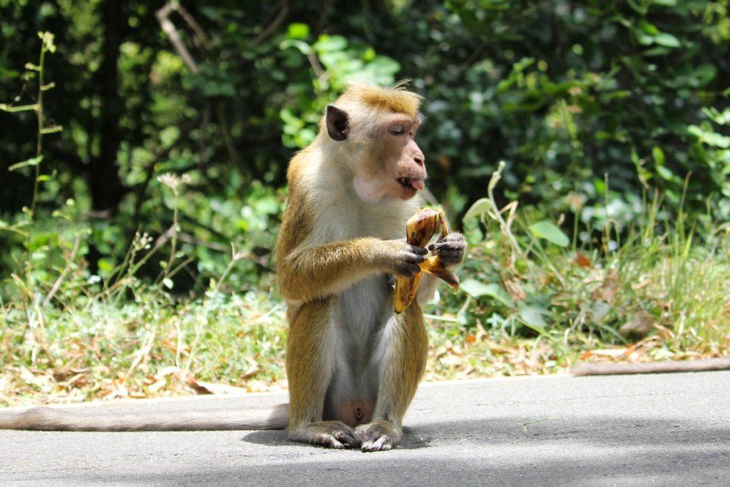 Apen in Sigiriya