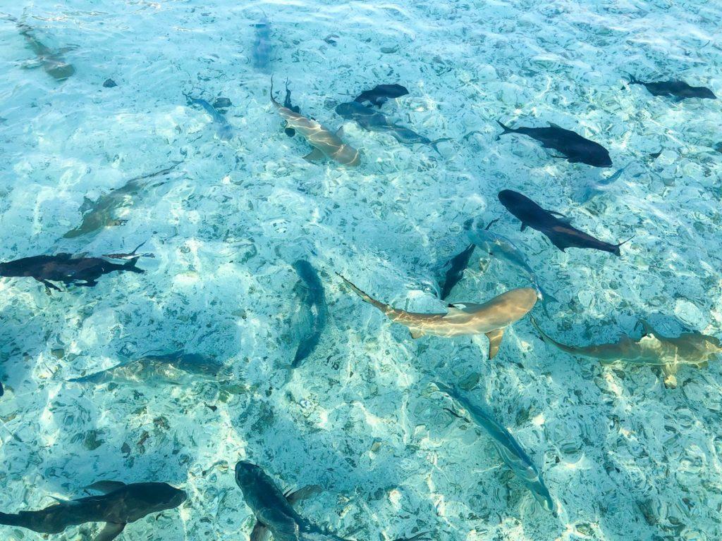 Haaien op de Malediven